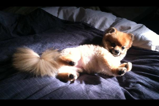 Logan Lynns Pomeranian Harvey